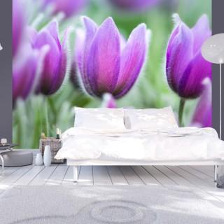 Φωτοταπετσαρία - Purple spring tulips