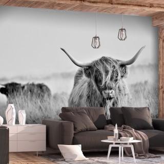 Αυτοκόλλητη φωτοταπετσαρία - Highland Cattle
