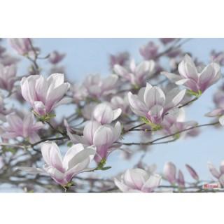 Φωτοταπετσαρία τοίχου Komar 8-738 Magnolia 3.68 cm x 2.54 cm